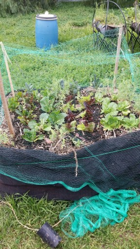 straw bed back garden 2015