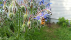 Borage flowers are loved by bees