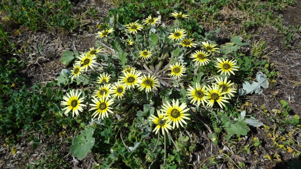 Daisies replace soursobs in the landscape