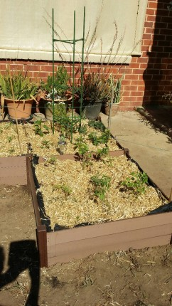 raised beds front garden 2015