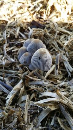 mushrooms ink caps