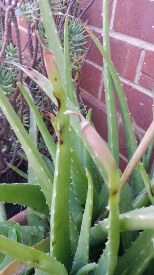 Aloe is ready to harvest when the tips turn pink.