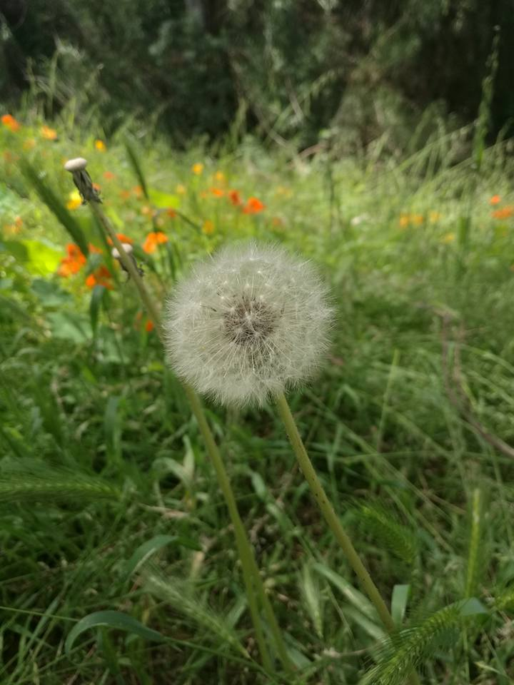 The famous Dandelion seed head.