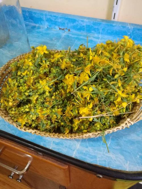 A dish of bright yellow Hypericum flowers