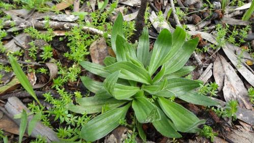 Rosette of Plantain leaves