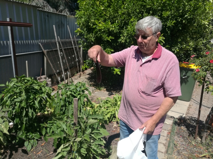 Dad with one of his eggplants