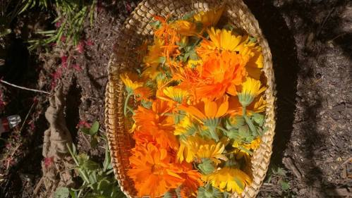 Calendula flowers. The basket was hand woven by Jelina