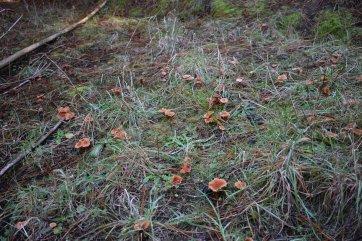 Lacaria mushrooms