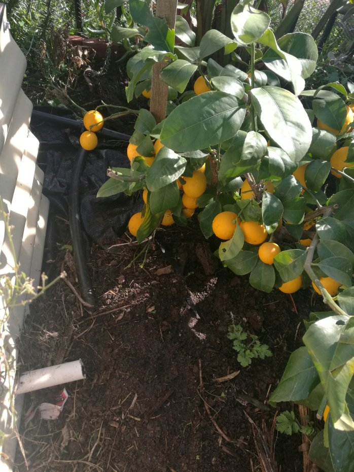 Small, but extra juicy lemons