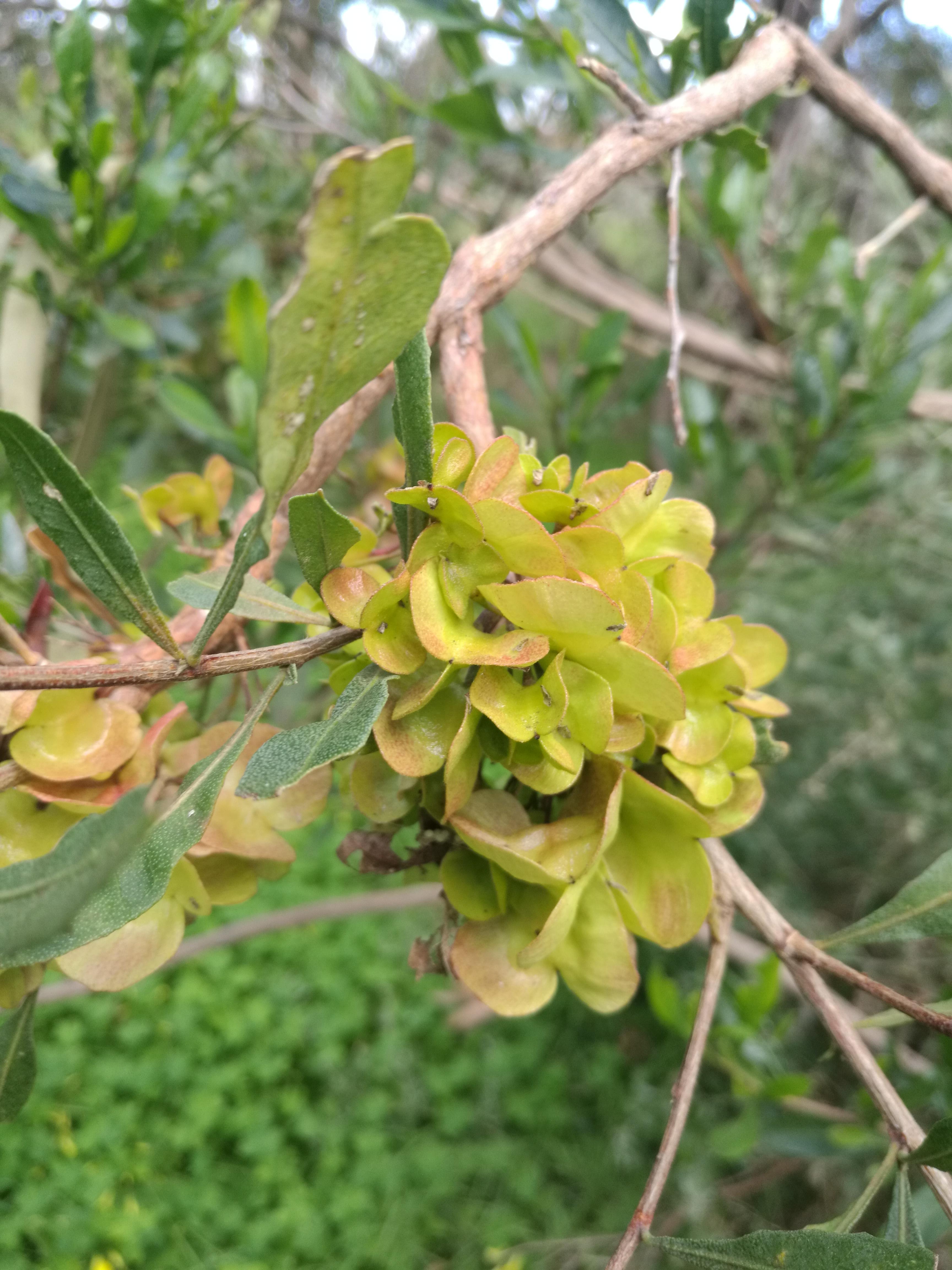 Sticky Hop Bush fruit.