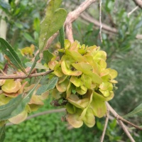 Sticky Hop Bush (Dodonaea viscosa)