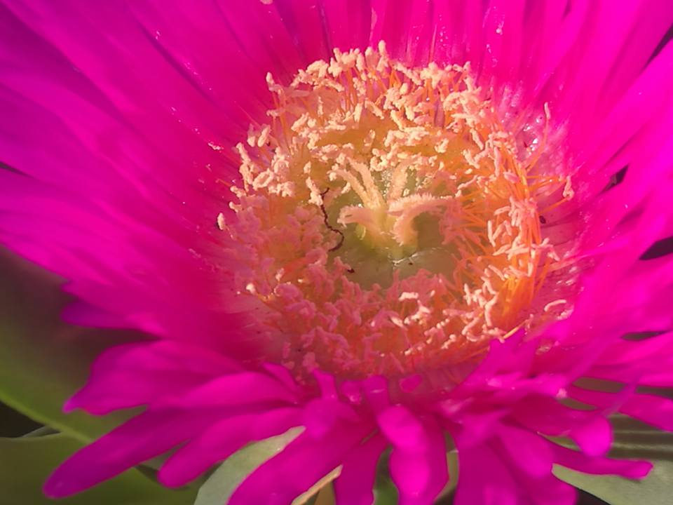 A Pigface flower in closeup.