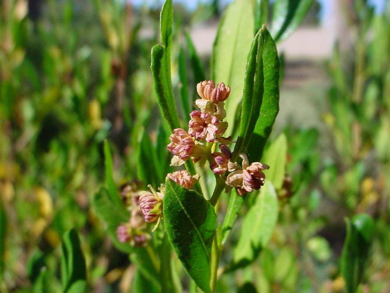 The flowers of Dodonaea viscosa