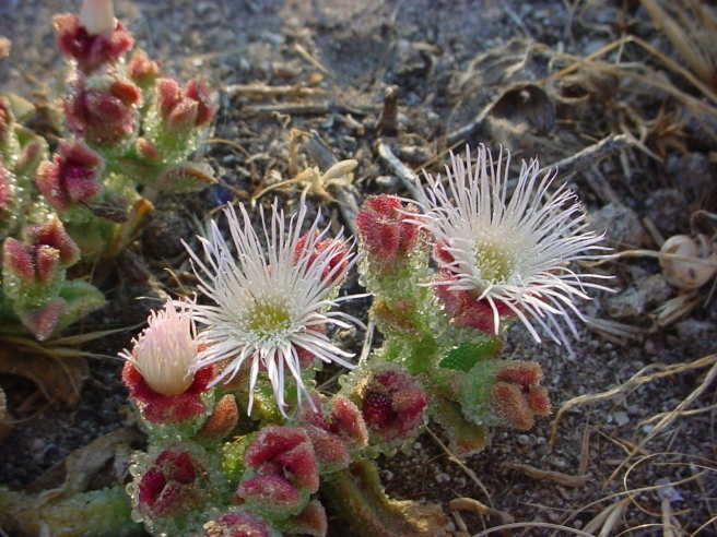 Ice Plant (Mesembryanthemum crystallinum)