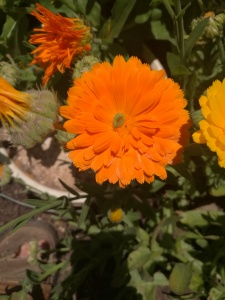 The bright yellow and oranges of Calendula are a welcome sight