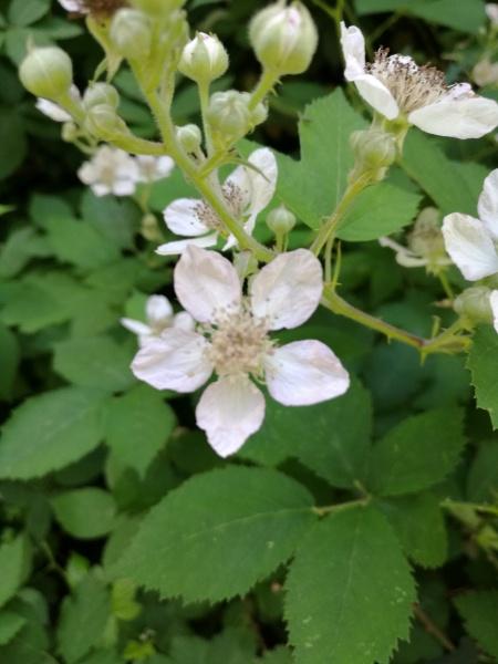 Blackberry (Rubus species)