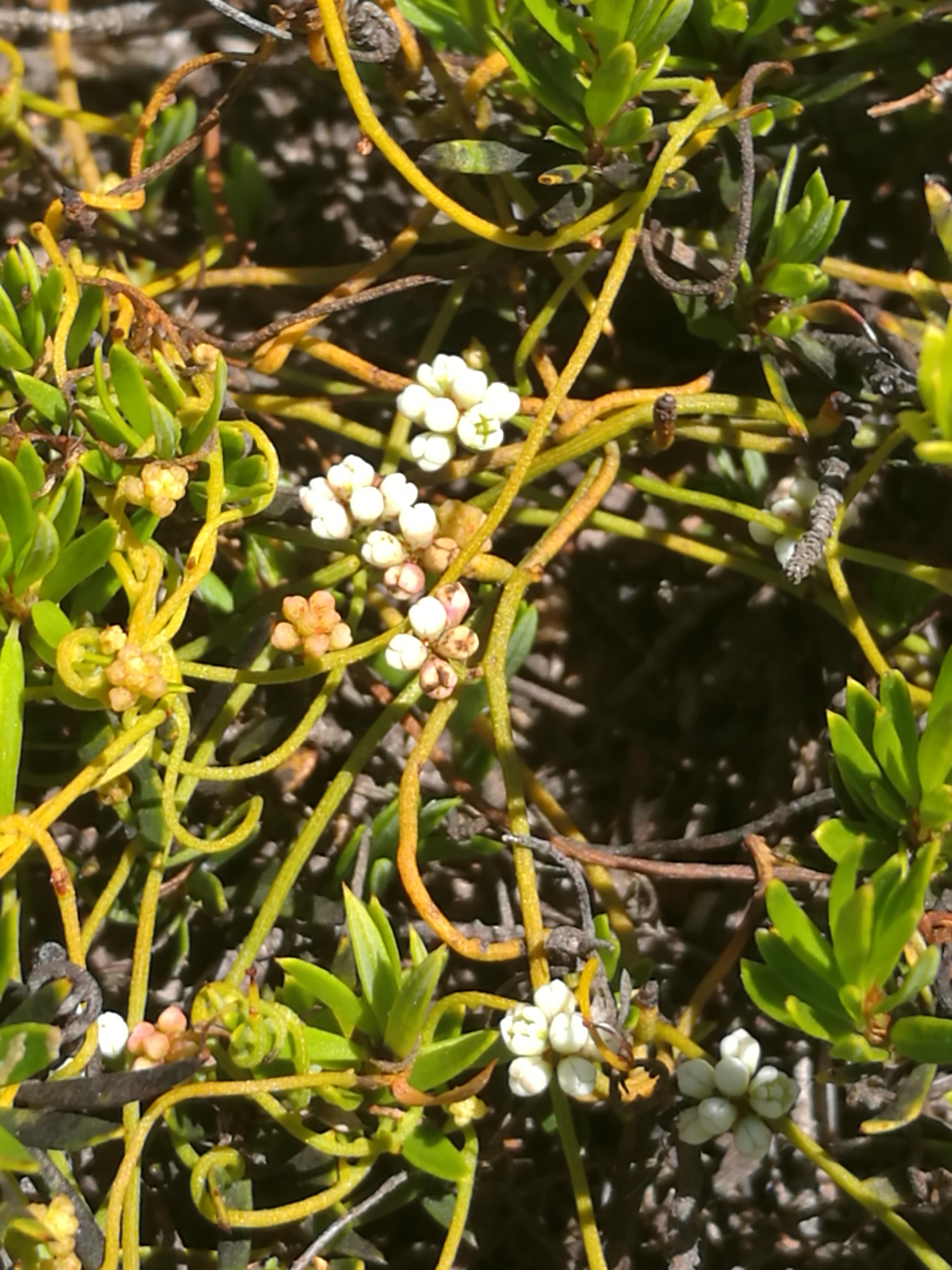 Cassytha glabella flowers