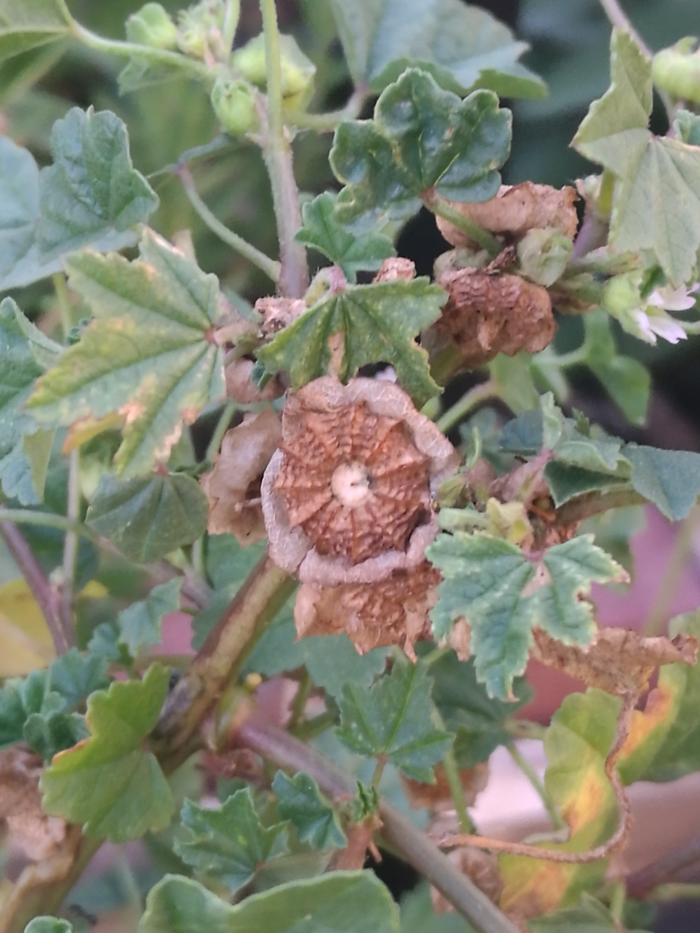 Dry Mallow seed