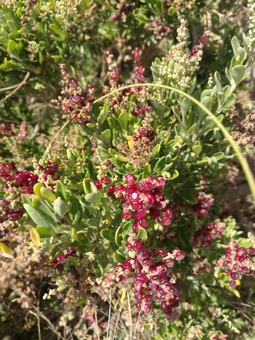 Seaberry Saltbush (Rhagodia candolleana)