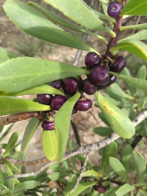 purple berries of Myoporum insulare