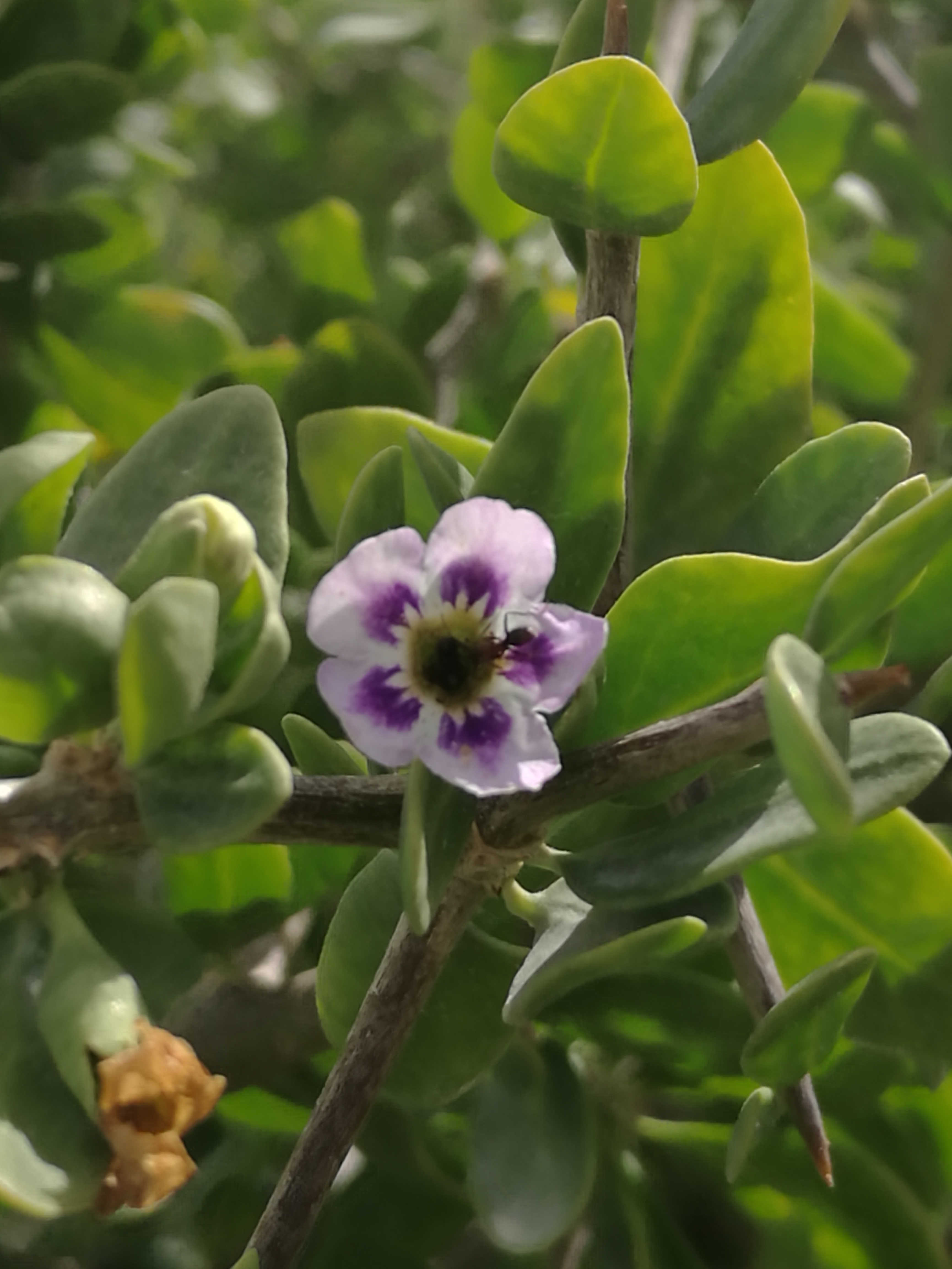 African Boxthorn purple flowers.