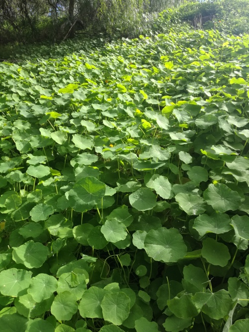 Masses of Nasturtiums line the creek banks