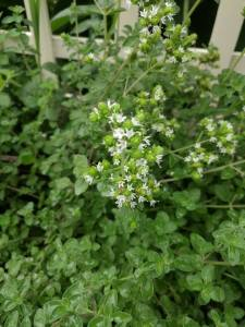 Marjoram in flower