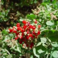 Mealy or Fragrant Saltbush (Rhagodia parabolica)