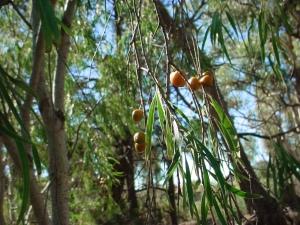 Pittiosporum phylliraeoides