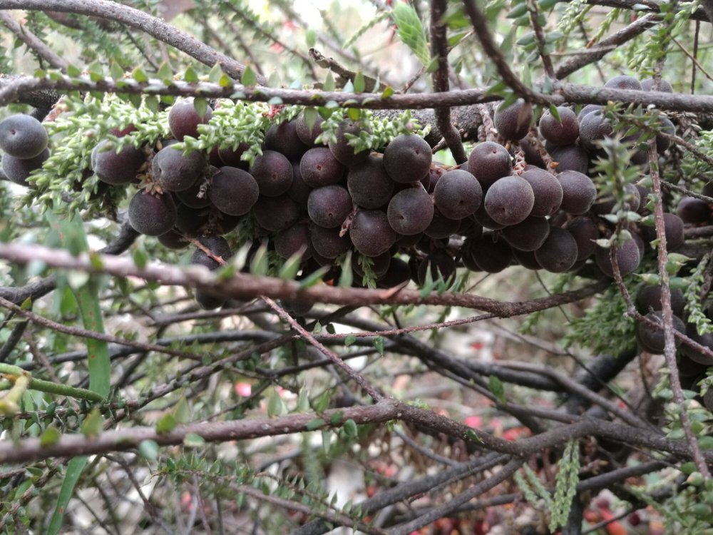 Acrotriche depressa berries can be hard to get ti
