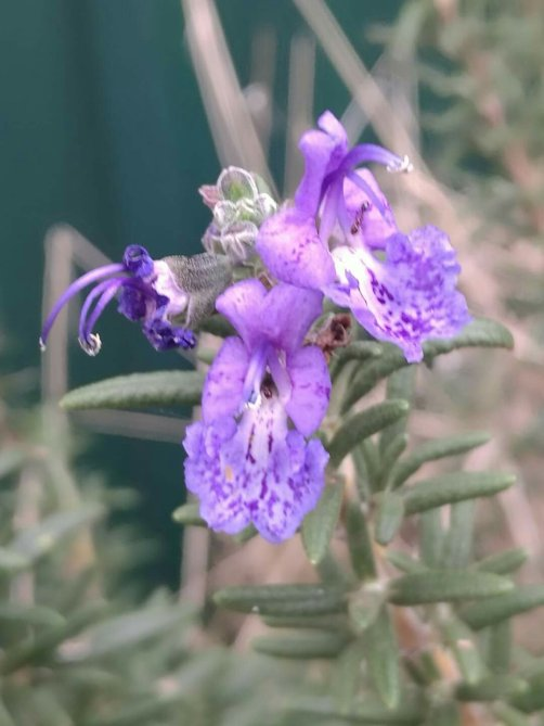 A close up of a Rosemary flower