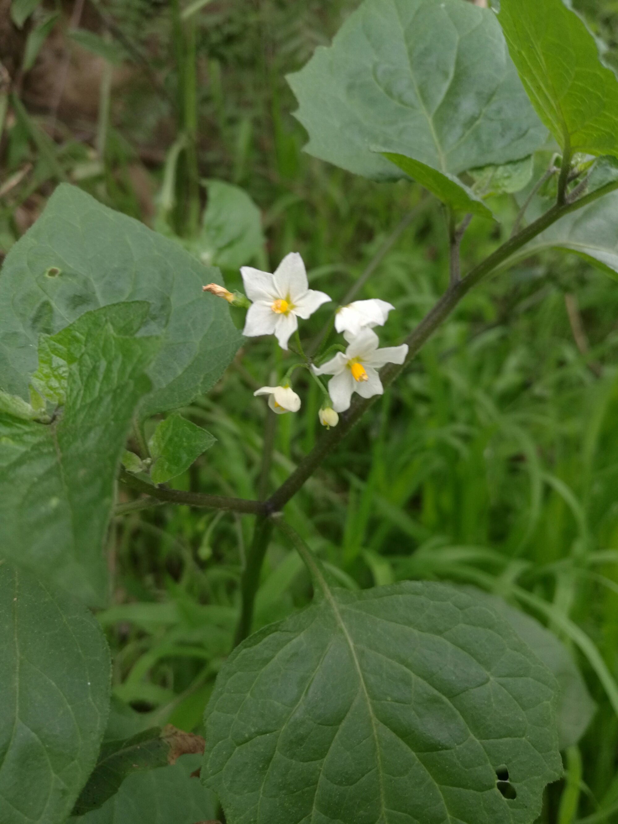 Small white flowers are a characteristic feature of BlackBerry Nightshade