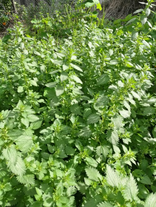 A patch of nettles is a good thing to have