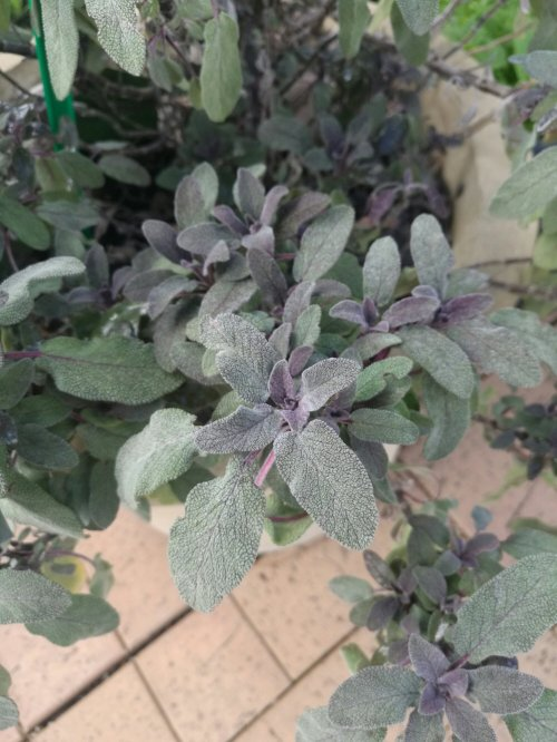 Sage has many cultivars. This one is our favourite.