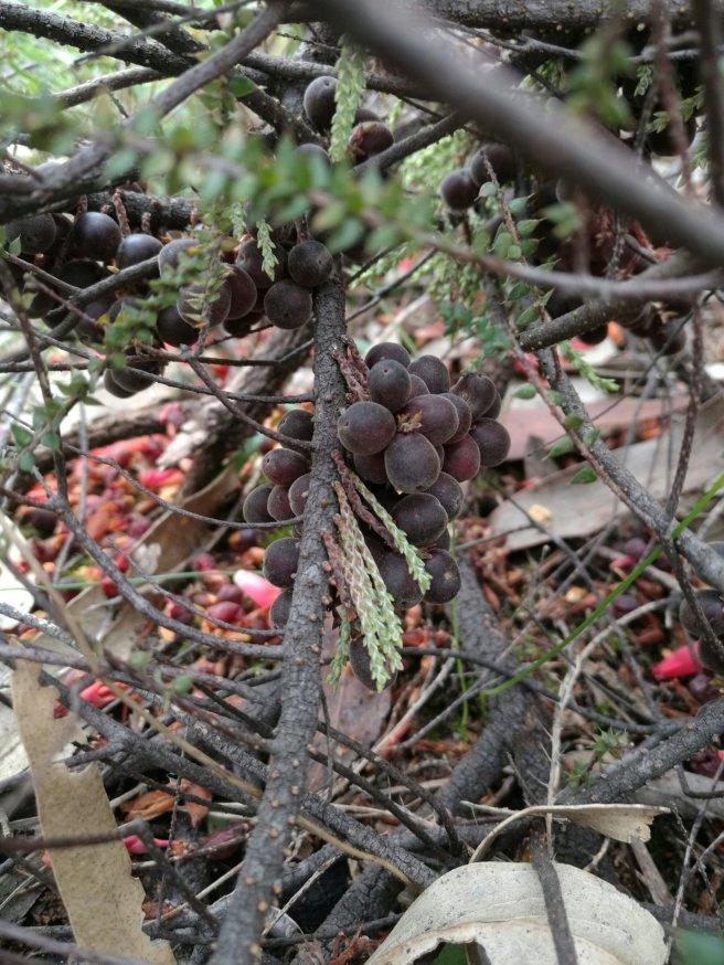 Native currant (Acrotriche depressa)