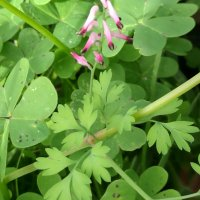 Fumitory (Fumaria officinalis and F. capreolata)