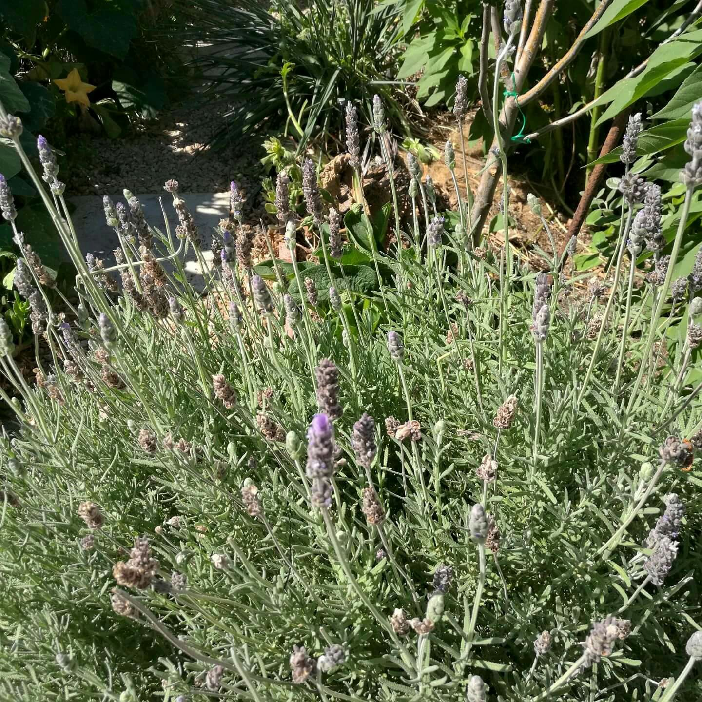 One of our Lavender bushes