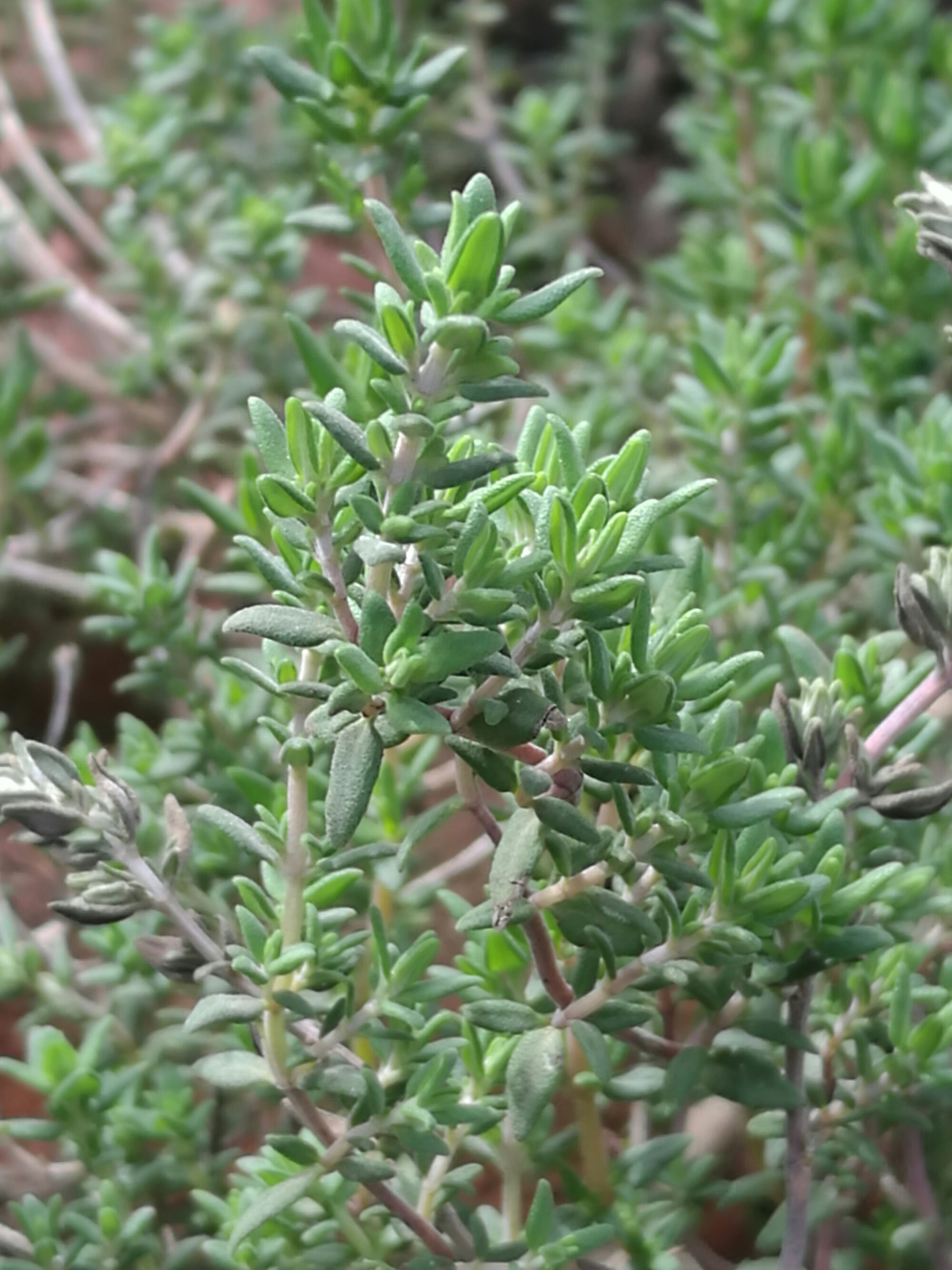 A dense tangle of Thyme leaves