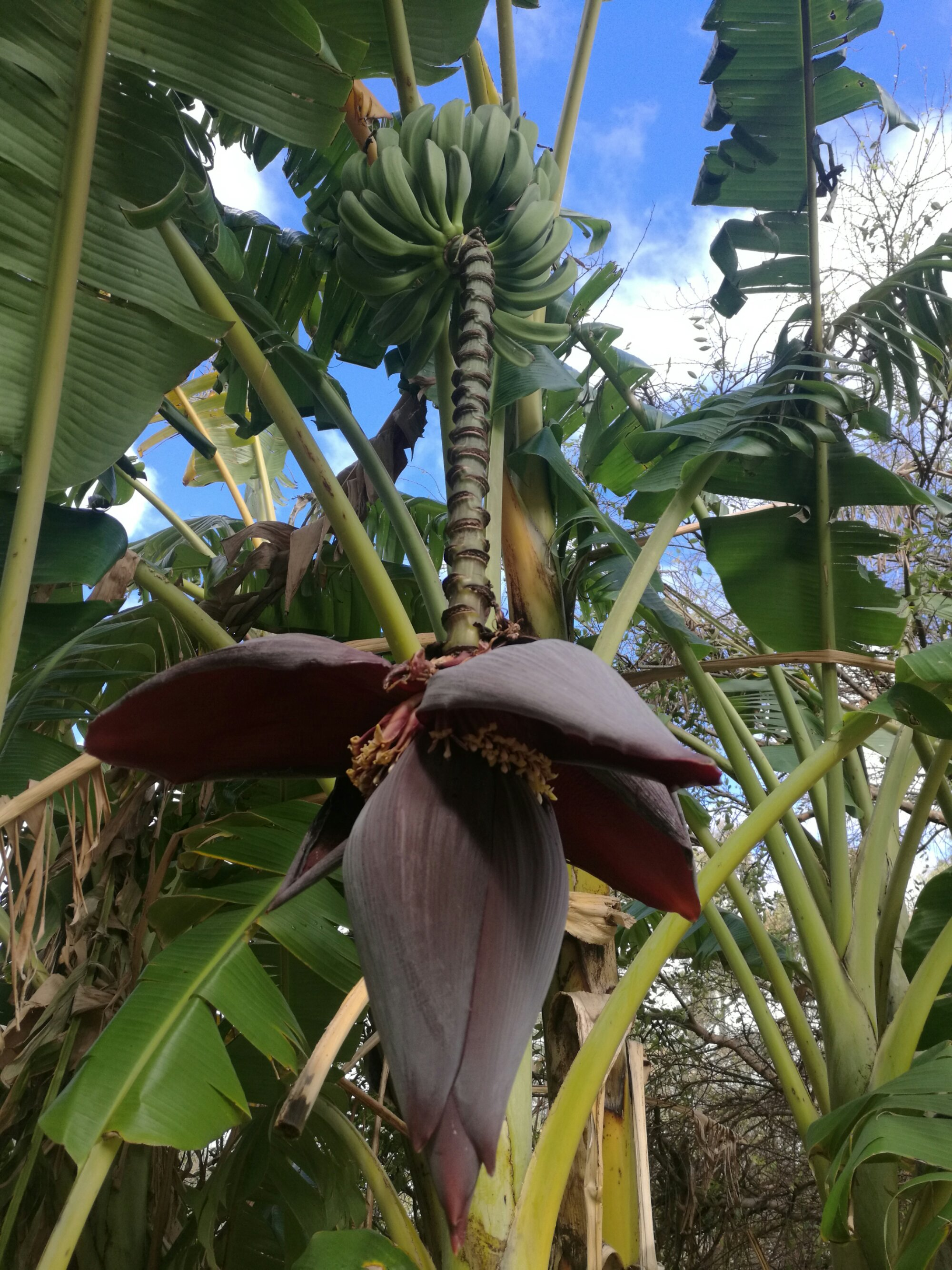Bananas and the flower