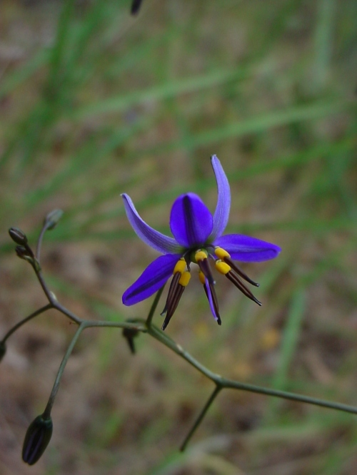 Dianella revoluta, showing black anthers
