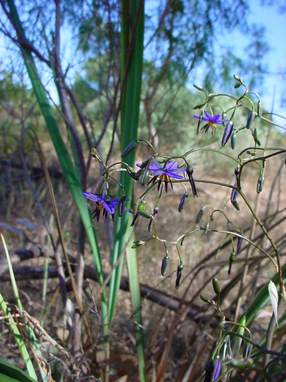 A cluster of Black Anther Flax-Lilies