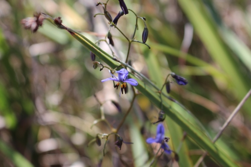 Leaves and flowers of Dianella revoluta