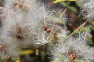 The feathery beards on the seeds
