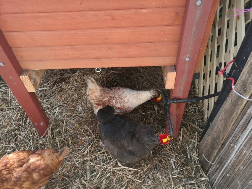 Under the new chook house