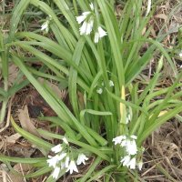Three Cornered Garlic or Leek (Allium triquetrum)