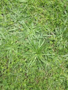 Buck's Horn Plantain (Plantago coronopus)