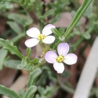 Sea Rocket (Cakile maritima and C. edentula)