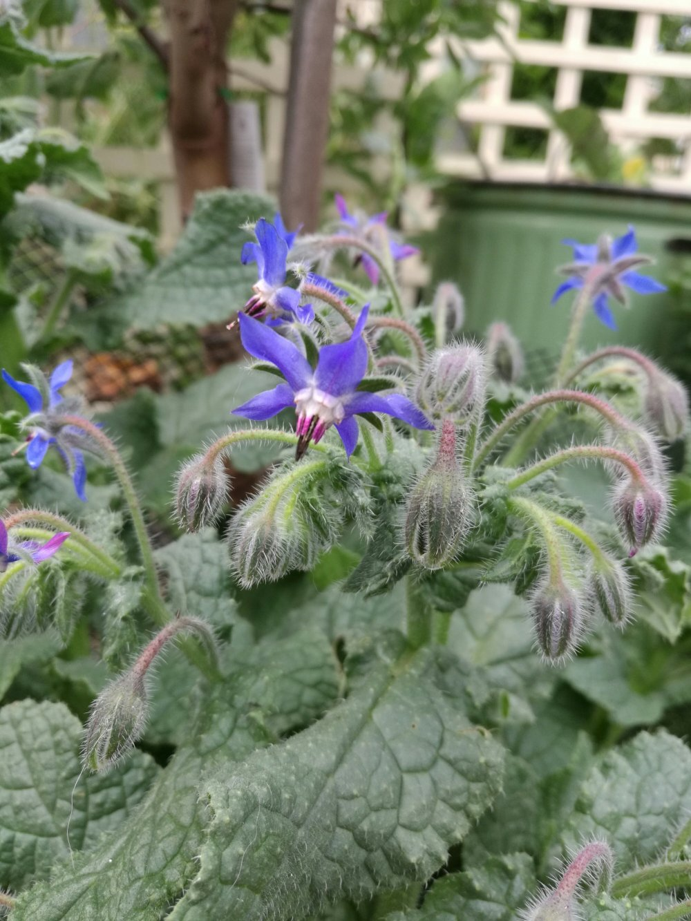 Beautiful blue (and sometimes pink) Borage flowers