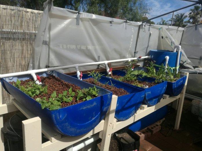 Our aquaponics