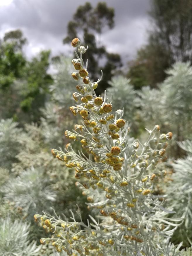 Tree Wormwood (Artemisia arborescens)